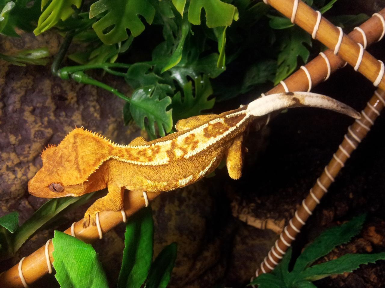 Rhacodactylus Correlophus Ciliatus Gecko 224 Cr 234 Te