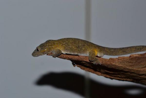 Eurydactylodes