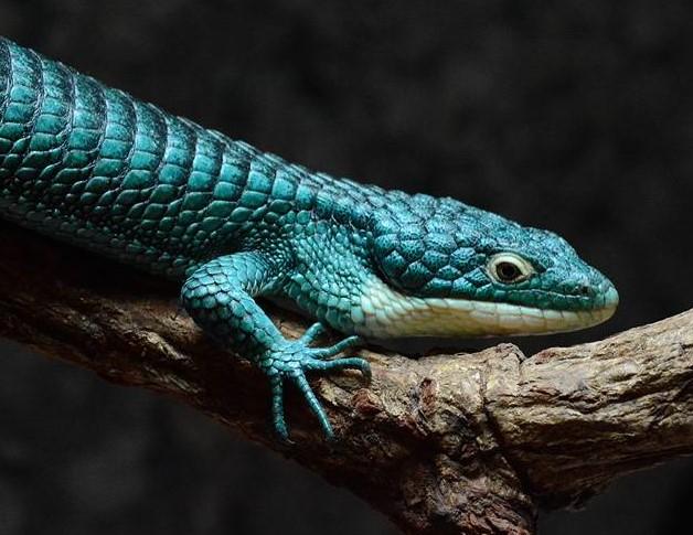 Vente : Lézards tropicaux et désertiques + serpents
